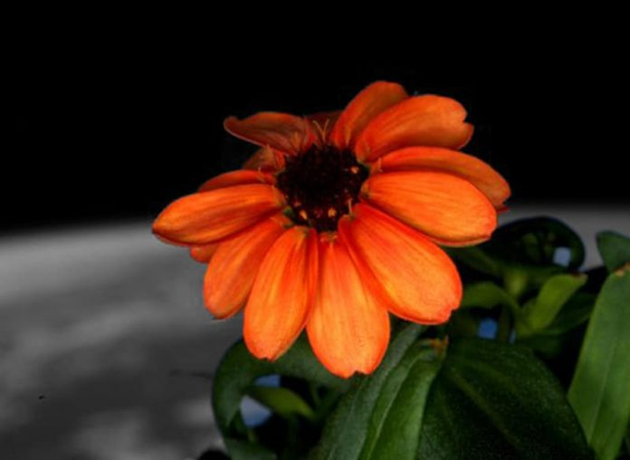 First Flower in space,Tizzy