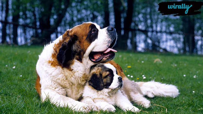 SAINT BERNARDS DOG