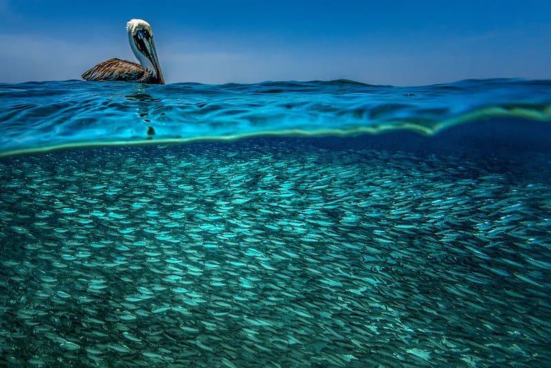 Caribbean pelician