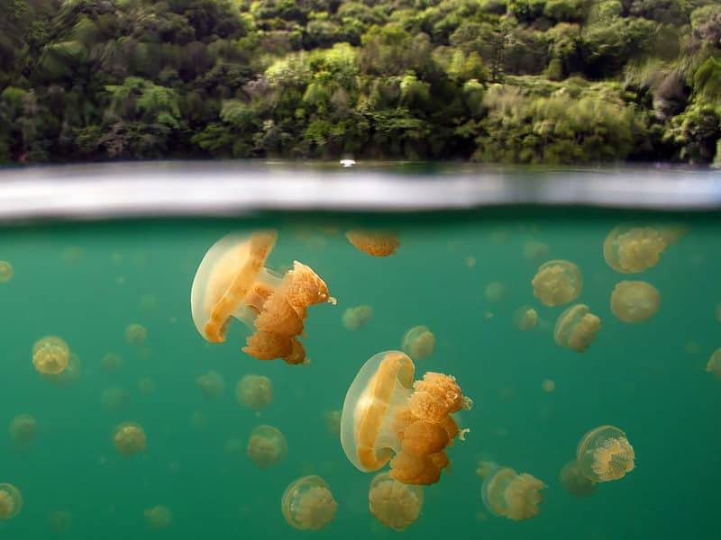 jelly fish lake