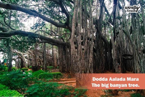 Dodda Aalada Mara – The big banyan tree.