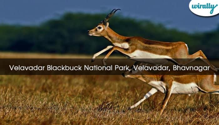Velavadar Blackbuck National Park, Velavadar, Bhavnagar
