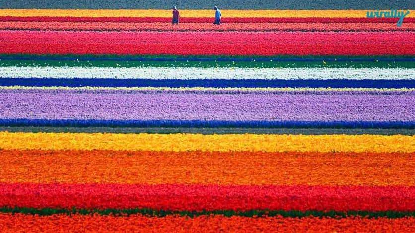 9 tulip