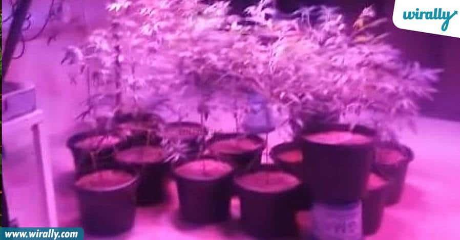 1_marijuana1