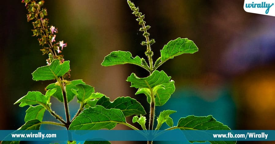 1.Why do we worship the Tulasi Plant
