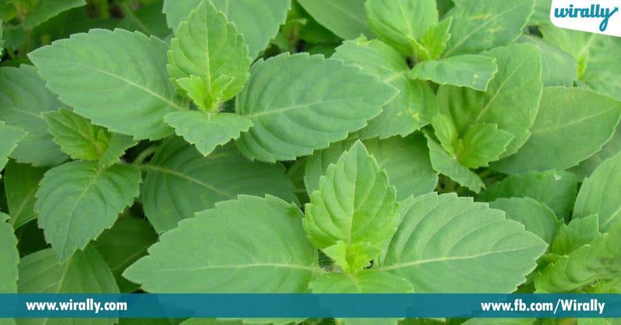 5.Why do we worship the Tulasi Plant