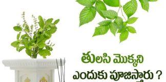 Tulasi Plant, Tulasi