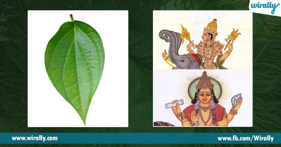 01 Importance of Betel Leaf