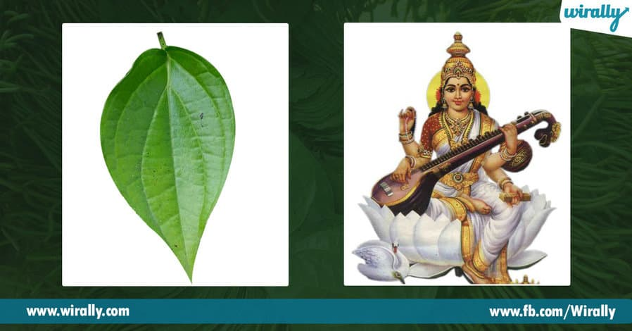 02 Importance of Betel Leaf