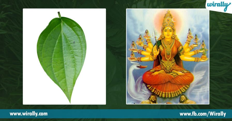 04 Importance of Betel Leaf
