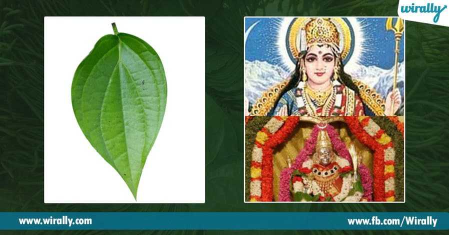 07 Importance of Betel Leaf