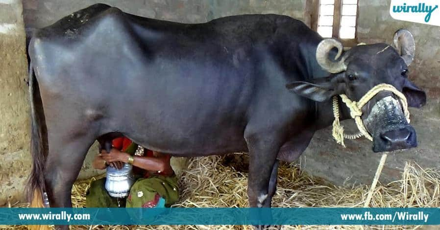 cow mik
