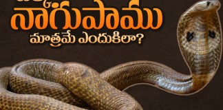 cobra snake facts