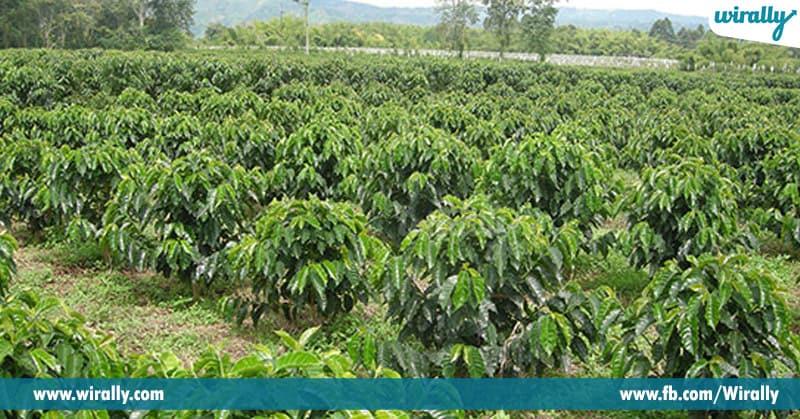 2 - coffee plants