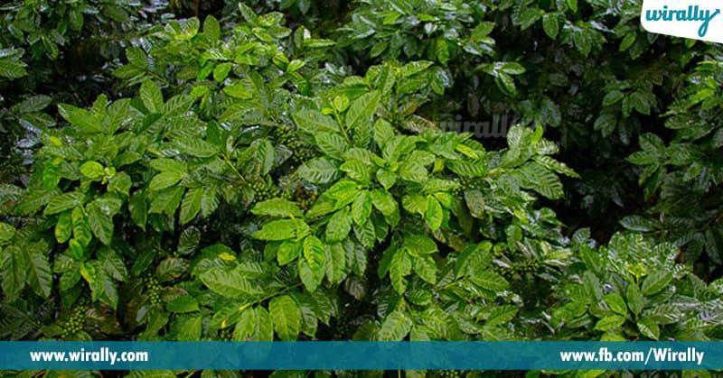 3 - coffe plants