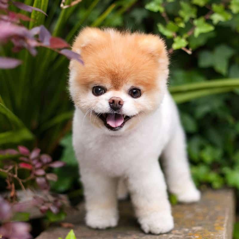 Worlds Cutest Dog Boo