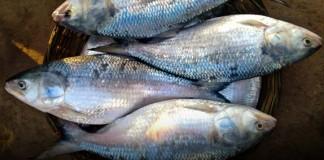 Pulasa Costliest Fish Of Andhra Pradesh