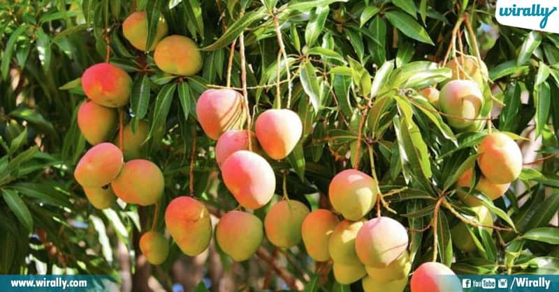 Varieties Mango From Our Telugu States