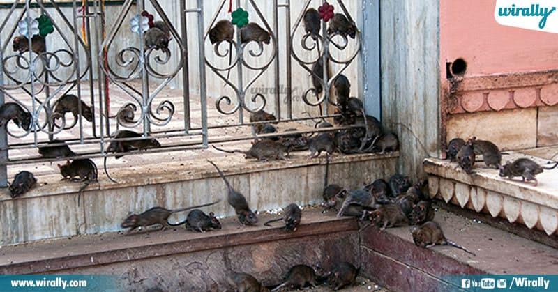 rats temple
