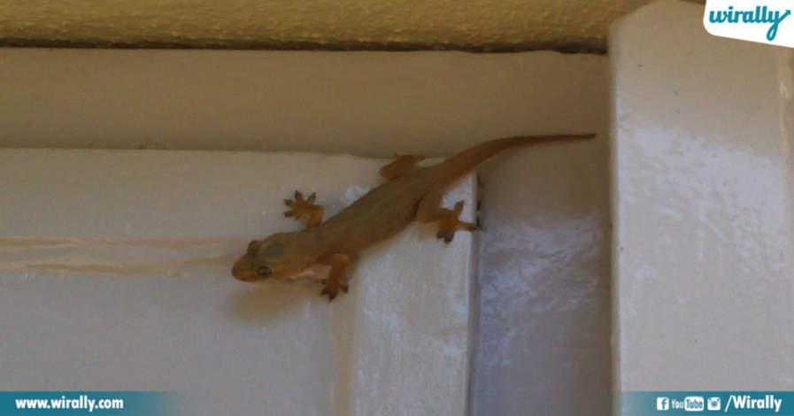 Lizard Falling on Human Is Bad Luck