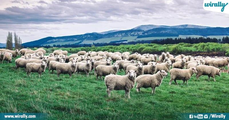 6 Sheeps