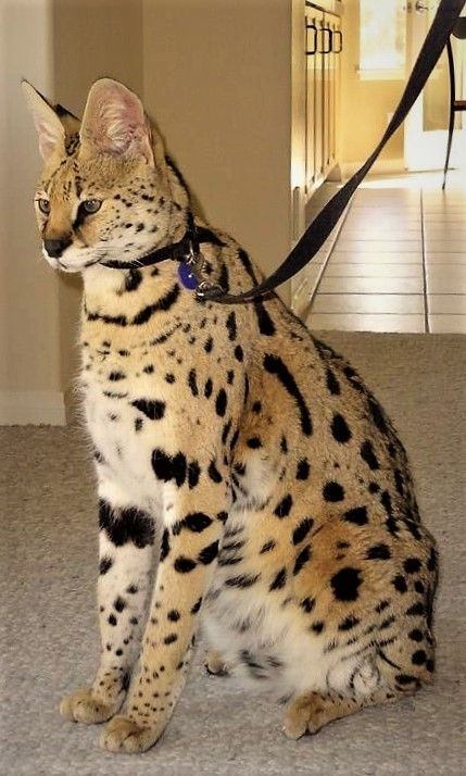 14. Savannah Cat
