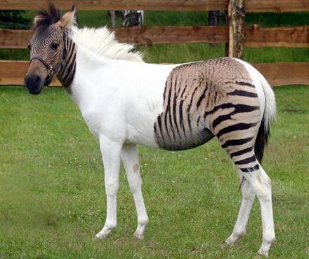 Zebra Pferd