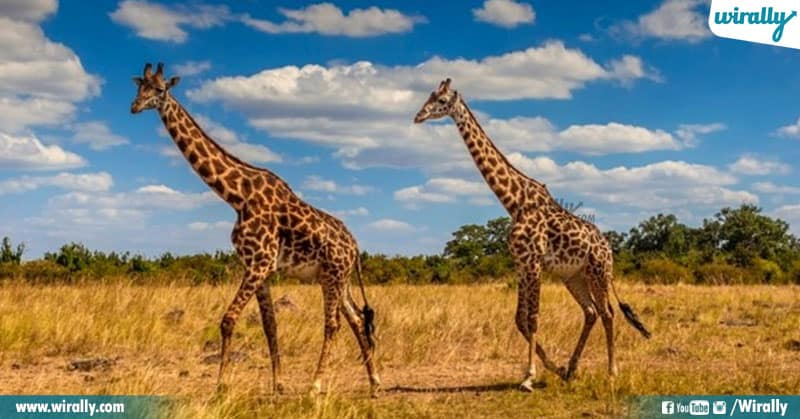 1 Unknown Facts About Giraffes