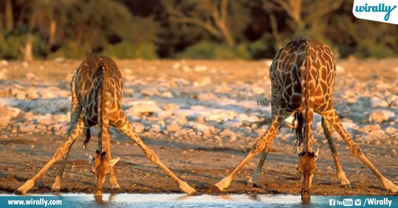 2 Unknown Facts About Giraffes