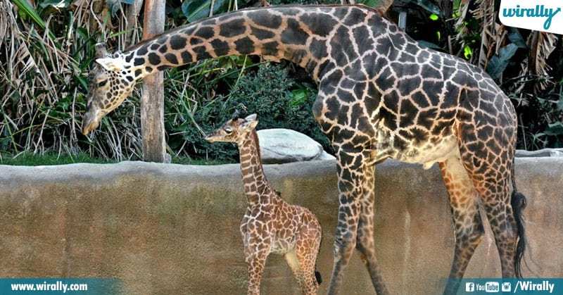 3 Unknown Facts About Giraffes