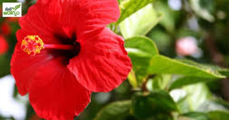 health benefits of Shoeblackplant