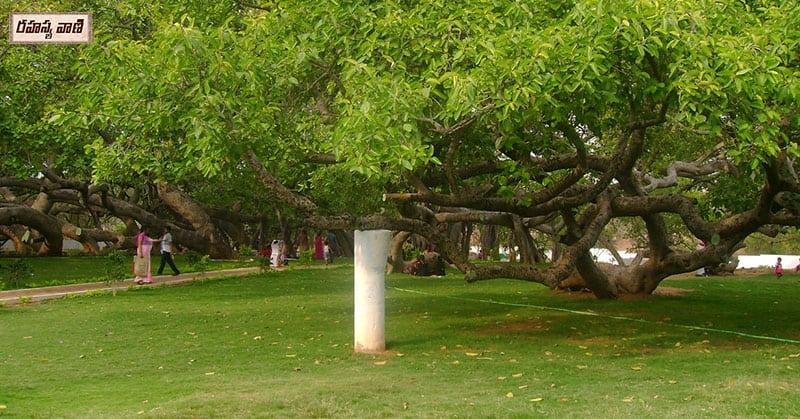 Pillalamarri Banyan Tree
