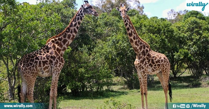 5 Unknown Facts About Giraffes
