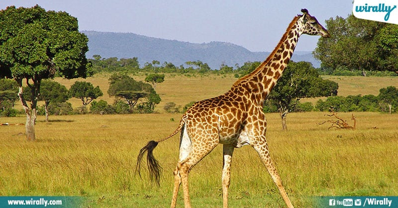 6 Unknown Facts About Giraffes
