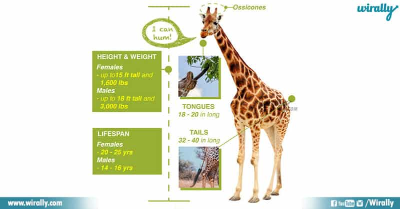 9 Unknown Facts About Giraffes