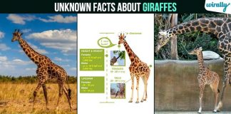 Unknown Facts About Giraffes