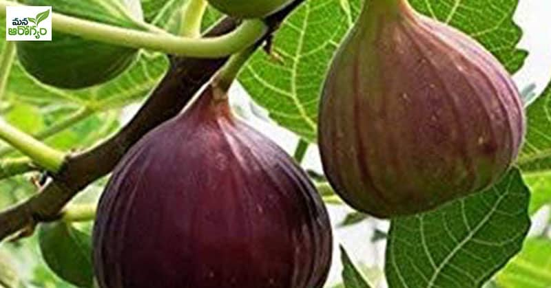 Health Benefits of Common fig