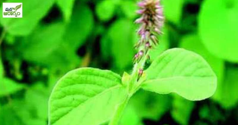 health benefits of Uttareni plant