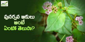 పునర్నవ ఆకులు