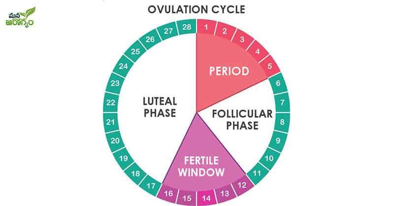 ovulation period