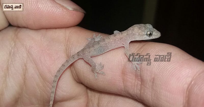 Lizard Falling Meaning on Body Parts