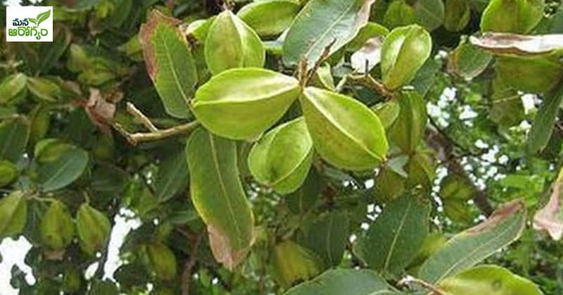 Benefits of Arjuna tree bark