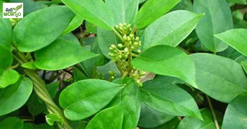 Health Benefits Of Podapathri Plant