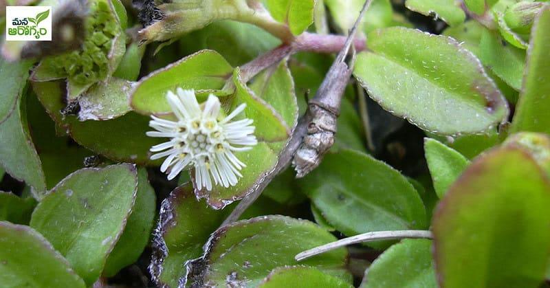 Health Benefits Of Guntagalagara Leaf