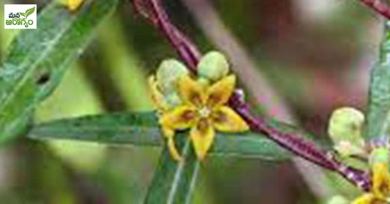 Health Benefits Of Sugandha Pala Velly