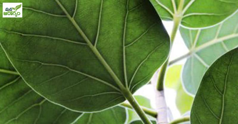 banyan tree leaf